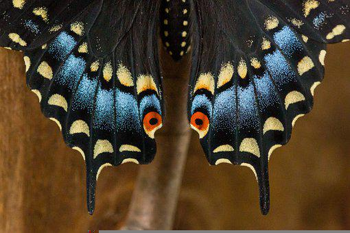 Black, Swallowtail, Eyes, Butterfly, Scales, Colorful