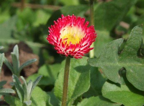 Daisy, Bellis Perennis, Tiny, Nice, Dear, Flower