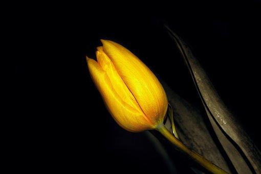 Frühling, Blumen, Tulip