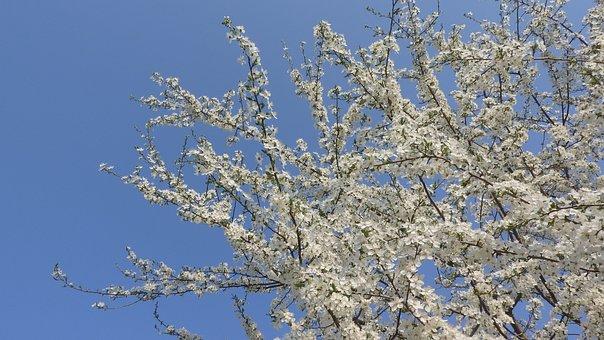 White Flowers, Spring Flowers, Flowering Tree