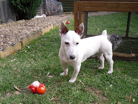 White Dog, Jack Russell, White Jack Russel