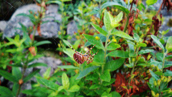 Nature, Spider, Web, Arachnid, Insect, Animal