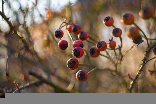 Berries, Branch, Tree, Fruits, Berry, Food, Edible