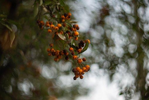 Berries, Branch, Tree, Fruits, Food, Edible, Ripe