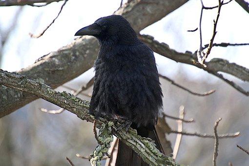 Raven, Bird, Black Bird, Branches, Perched