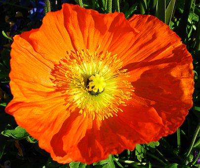 Poppy, Orange, Flower, Blossom, Bloom, Nectar, Pollen