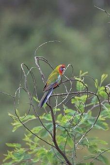 Crimson Rosella, Bird, Branches, Perched, Perched Bird