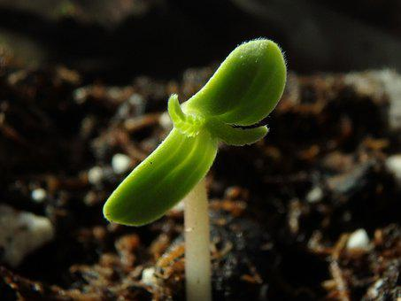 Cannabis, Seedling, Horticulture, Marijuana, Medicine