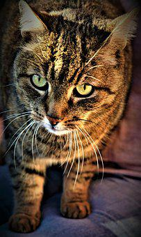 Cat, Animal, Portrait, House Tiger, Kitten, Eyes, Tiger