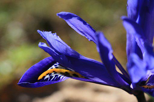 Iris, Lily, Color, Farbenspiel, Blue, Yellow, Contrast