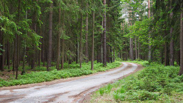 Forest, Conifers, Path, Trees, Coniferous