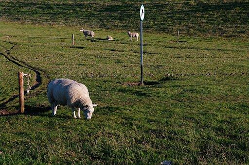 Sheep, Grass, Field, Wool, Meadow, Animal, Lamb, Nature