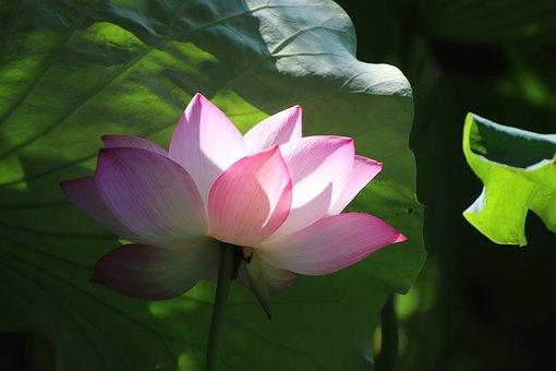 Lotus, Flower, Pink Petals, Bicolor Flower, Pink Flower