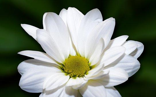 Flower, Marguerite, Nature