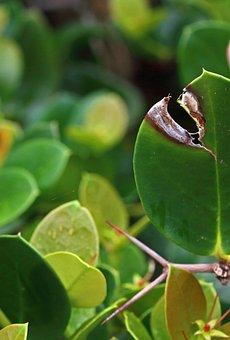 Natal Plum, Leaves, Plant, Foliage, Greenery