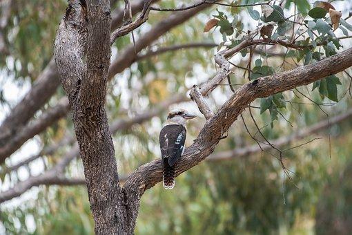 Laughing Kookaburra, Dacelo Novaeguineae, Bird, Tree