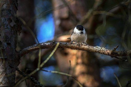 Standing, Common, Bird Watching, Feather, Marsh Tit