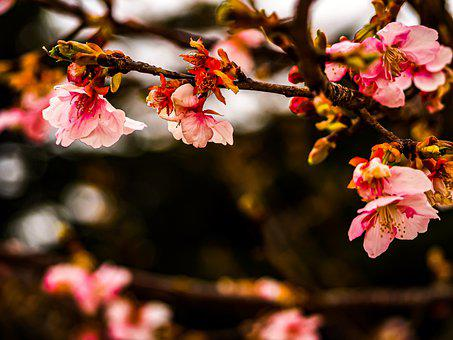 Cherry, Season, Sakura, Branch, Spring, Nature, Bloom