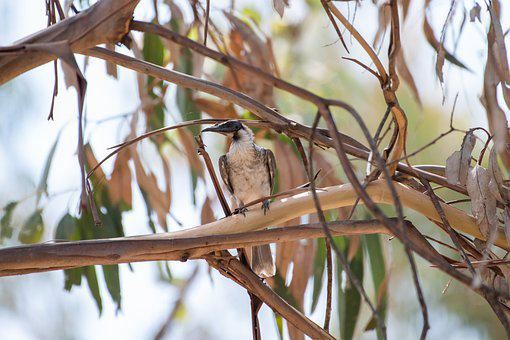 Noisy Friarbird, Bird, Branches, Perched, Perched Bird