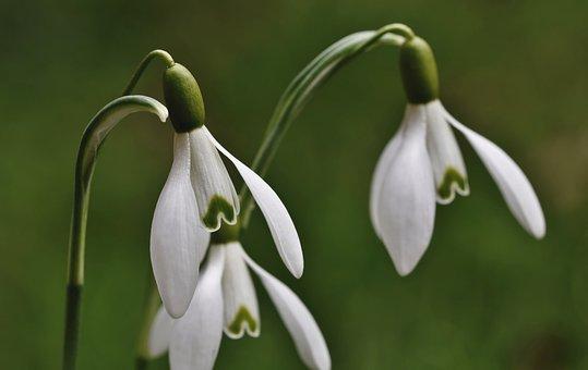 Snowdrop, White Flowers, Flowers, Snow Bell