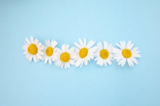 Daisies, Chamomile, Tea, Spring, Flowers, Summer