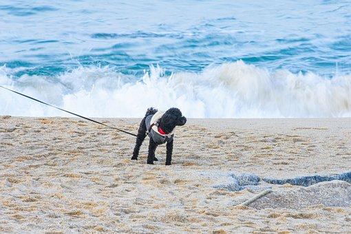 Beach, Dog, Poodle, Puppy, Sand, Waves, Walk