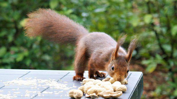 Squirrel, Rodent, Peanuts, Foraging, Eating, Wildlife