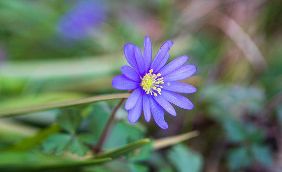 Balkan Anemone, Flower, Plant, Ranunculaceae, Petals