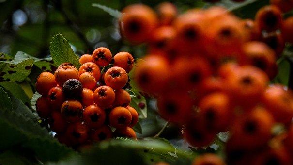 Berries, Tree, Leaves, Foliage, Plant, Orange, Blossom