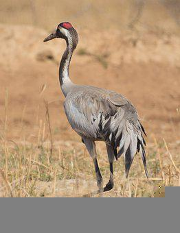 Common Crane, Crane, Bird, Long Neck, Feathers, Plumage