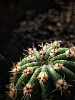 Cactus, Plant, Succulent, Nature, Green, Home, Flora
