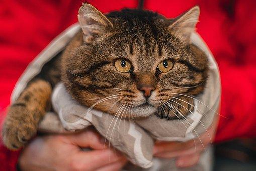 Fat Cat, British Cat, Shelter Cat, Permian, Feline