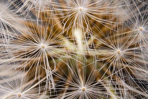 Dandelion, Seeds, Fluff, Seed Head, Blowball, Fluffy