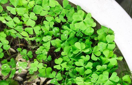 Four-leaf Clover, Botany, Good Luck, Green Background