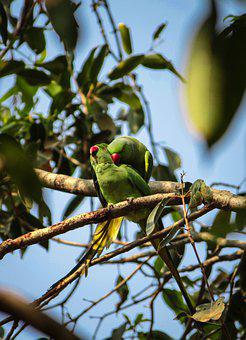 India, Parrots, Love, Mating, Wildlife, Wild, Birds