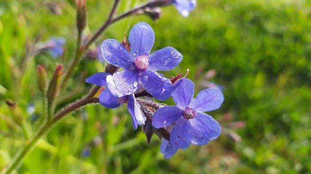 Flowers, Mallow, Blue Flowers, Dew, Dewdrops