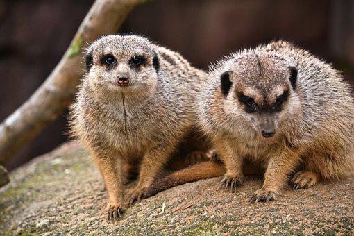 Meerkat, Mammal, Animal, Wild, Africa, Fauna, Nature