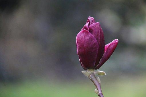 Magnolia, Flower, Nature, Tree, Spring, Purple
