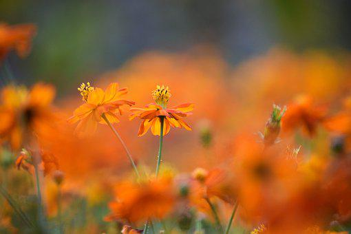 Orange, Flowers, Nectar, Pollen, Orange Flowers, Petals