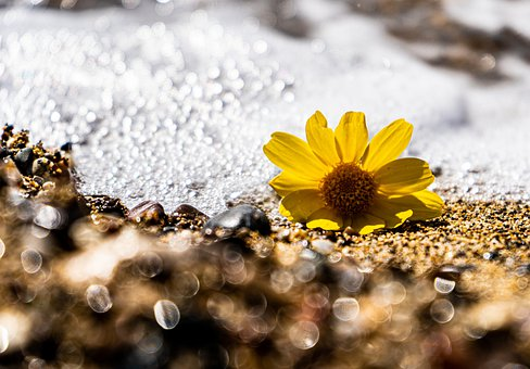 Flower, Petals, Sand, Sea, Water, Foam, Plant, Pebbles