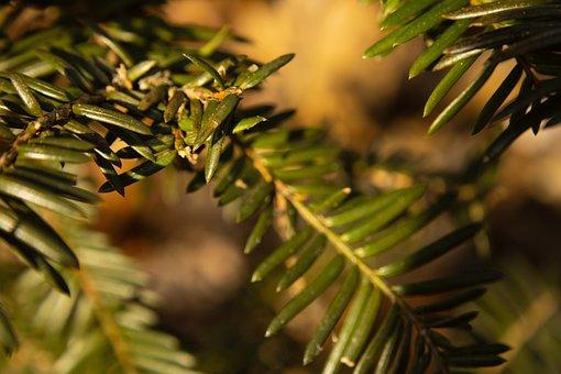 Pine, Evergreen, Green, Environmental, Trees, Outdoors