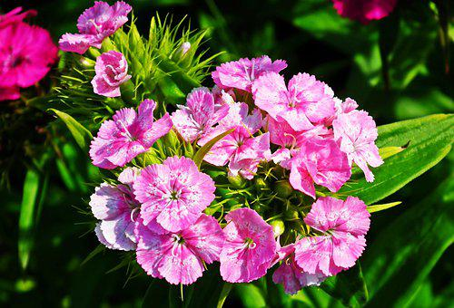 Gożdziki Stone, Flowers, Pink, Pink Flowers, Petals