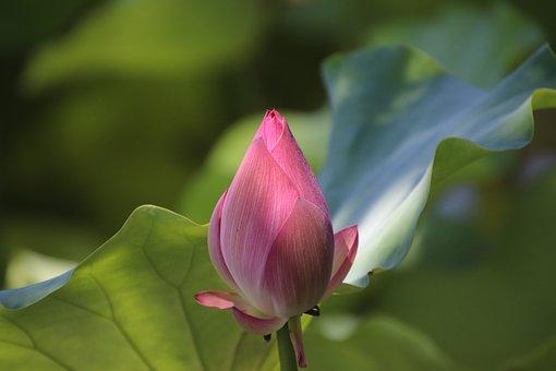 Lotus, Bud, Flower, Pink Petals, Pink Flower
