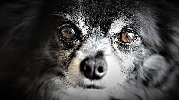 Chihuahua, Small Dog, Black White, Black Background