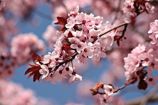Cherry Blossom, Flowers, Spring, Branch, Bloom, Blossom