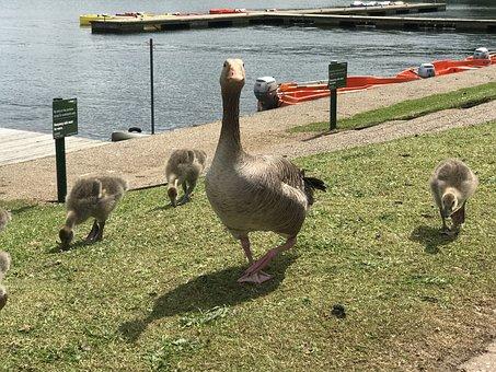 Geese, Family, Goslings, Waterfowls, Water Birds