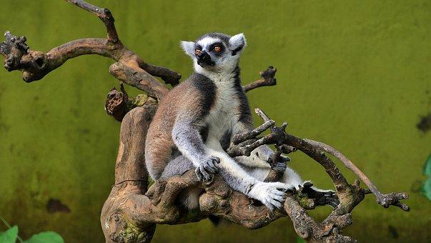 Lemur, Zoo, Animal, Madagascar, Primates, Wild, Brown