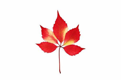 Autumn, Bright, Colorful, Creepers, Fall, Foliage