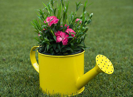 Watering Can, Flowers, Plant, Carnations, Bloom
