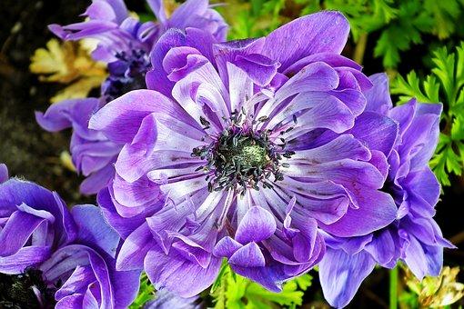 Anemone, Flower, Plant, Petals, Stamens, Blue Flower